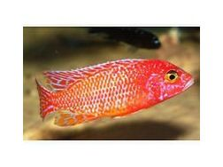 20 arten Malawis abzugeben 1 cm 1 Euro - Fische - Bild 1